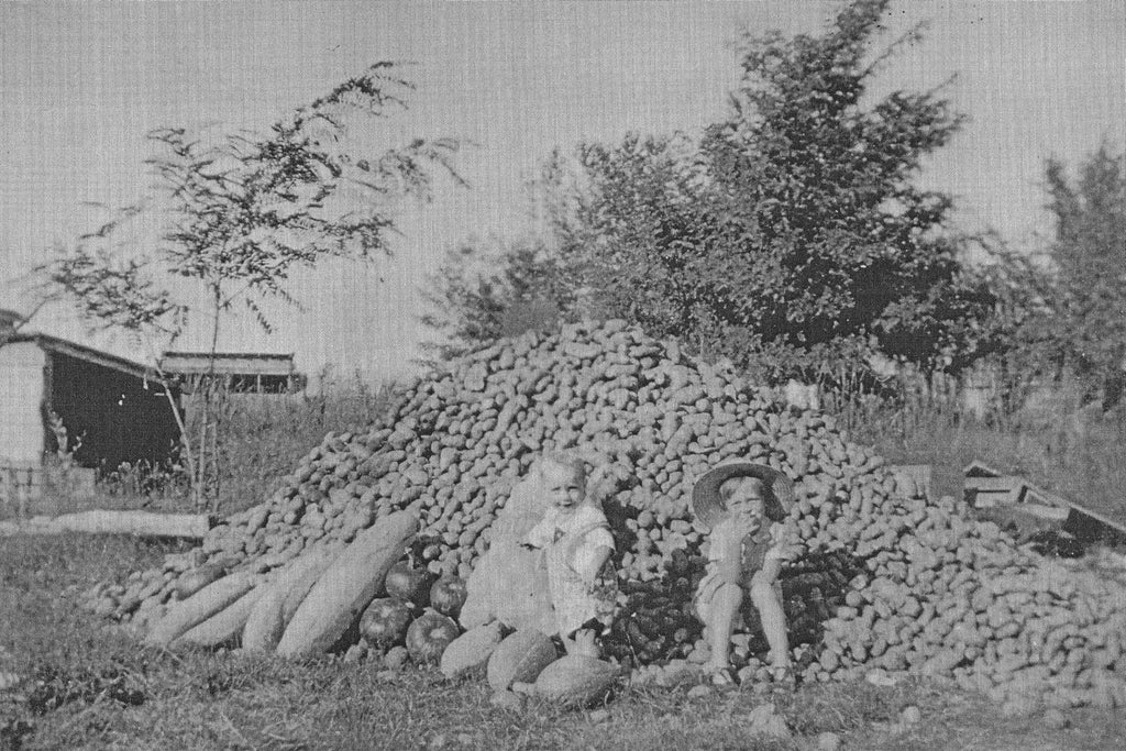 Potato and squash harvest at the Frasier homestead on Eagle Island