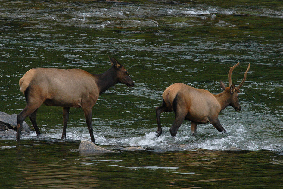 River Crossing, Elk