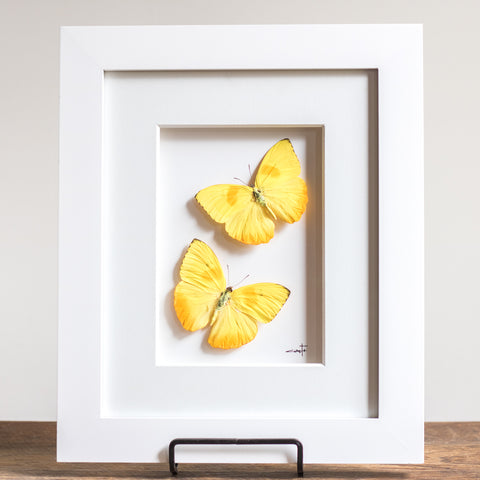 Yellow Butterflies in Flight | 10x12""