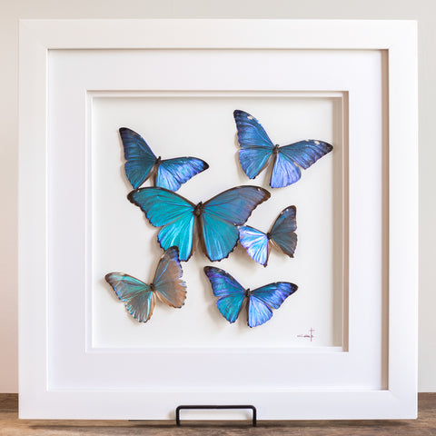 Blue Morphos in Flight | 18x18""