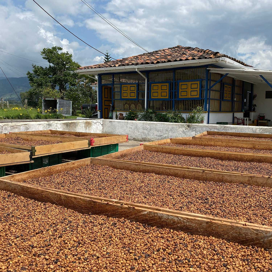 Spring Allocation 2021: Colombia Hermoso Golden Washed