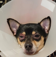 Dog may need cone to protect from further injury