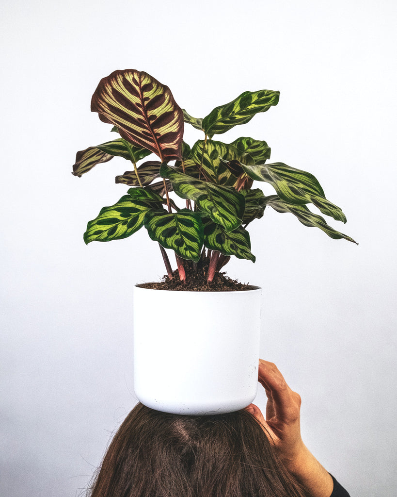 push button for Calathea plant Leaves House