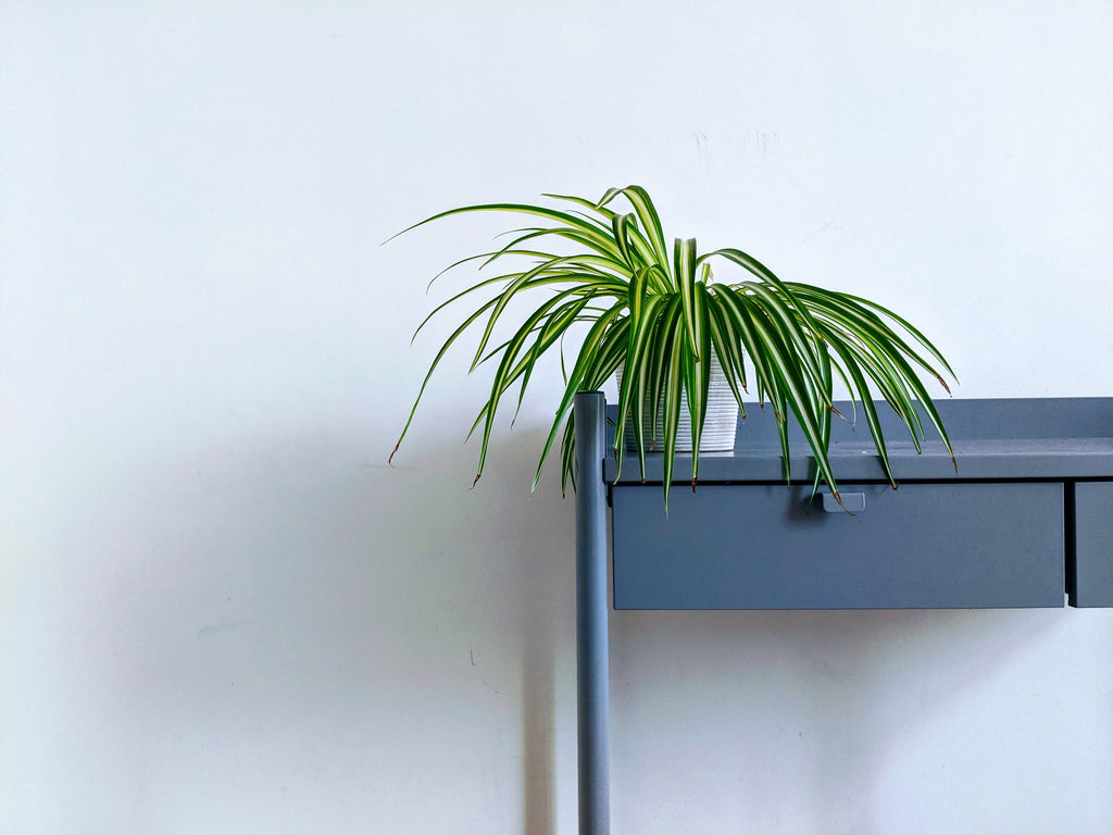 push button for spider plant at Leaves House