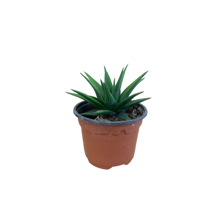 Haworthia - 4 inch pot
