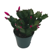 photo of purple christmas cactus