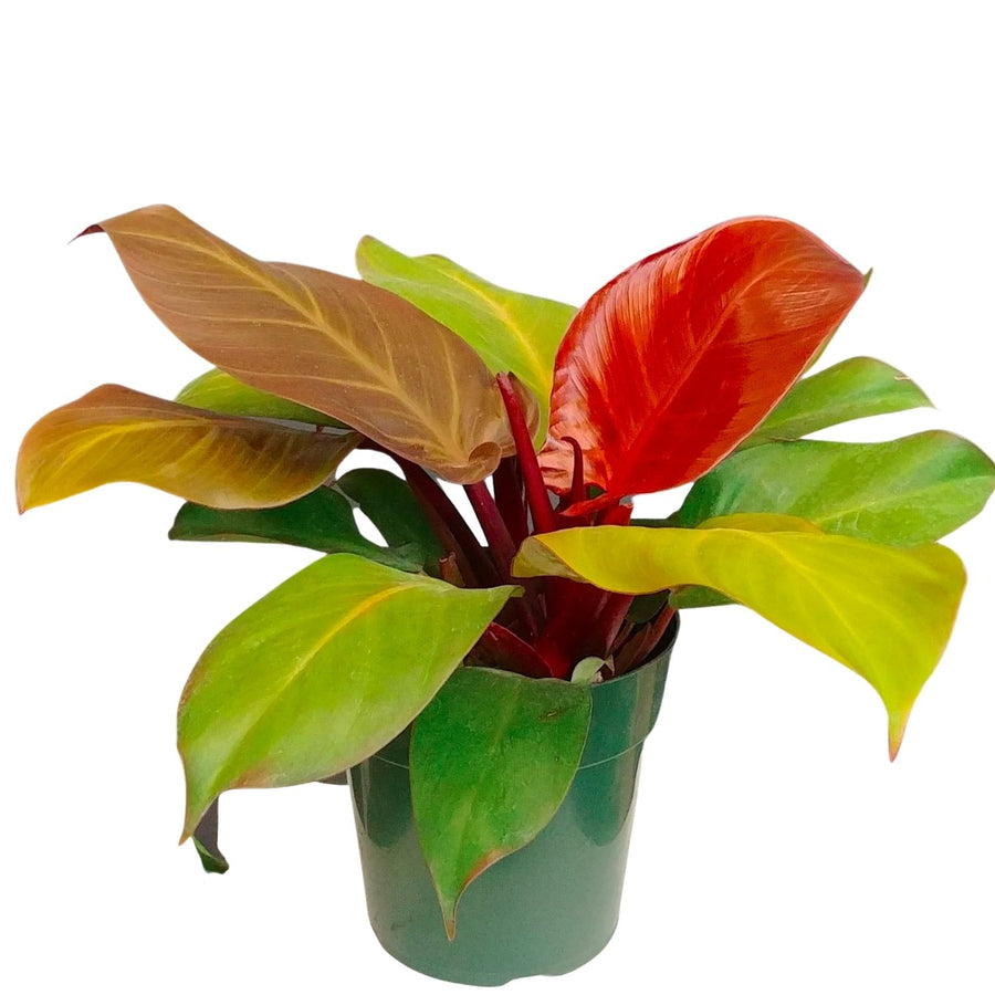 Philodendron Prince of Orange - 6 inch pot