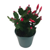 photo of christmas cactus