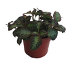 photo of Episcia Plant