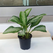 photo of chinese ever green 5 inch