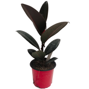 photo of ficus burgundy
