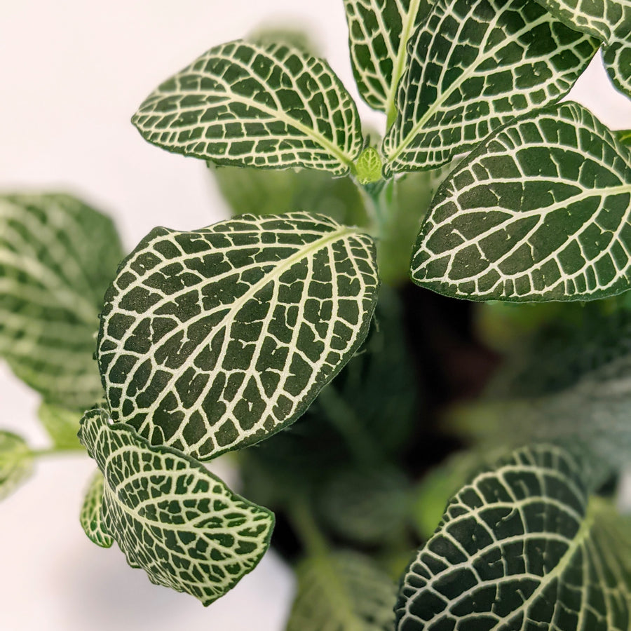 photo of fittonia with large leaves