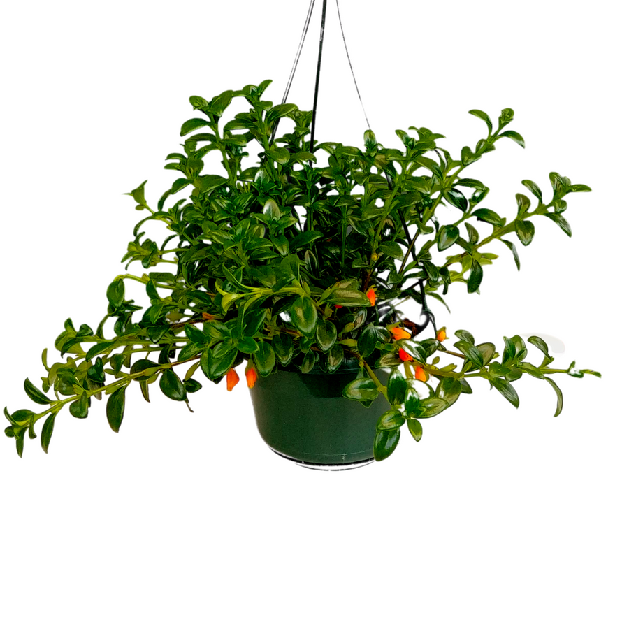 Goldfish Plant - 5 inch Pot