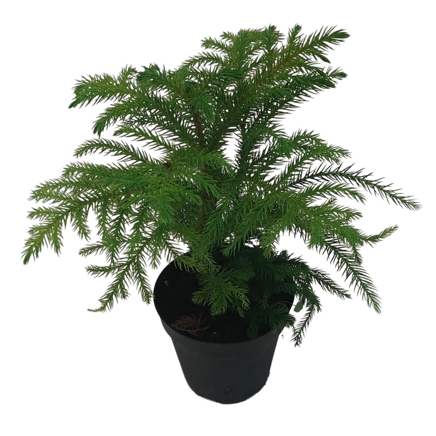 photo of norfolk pine