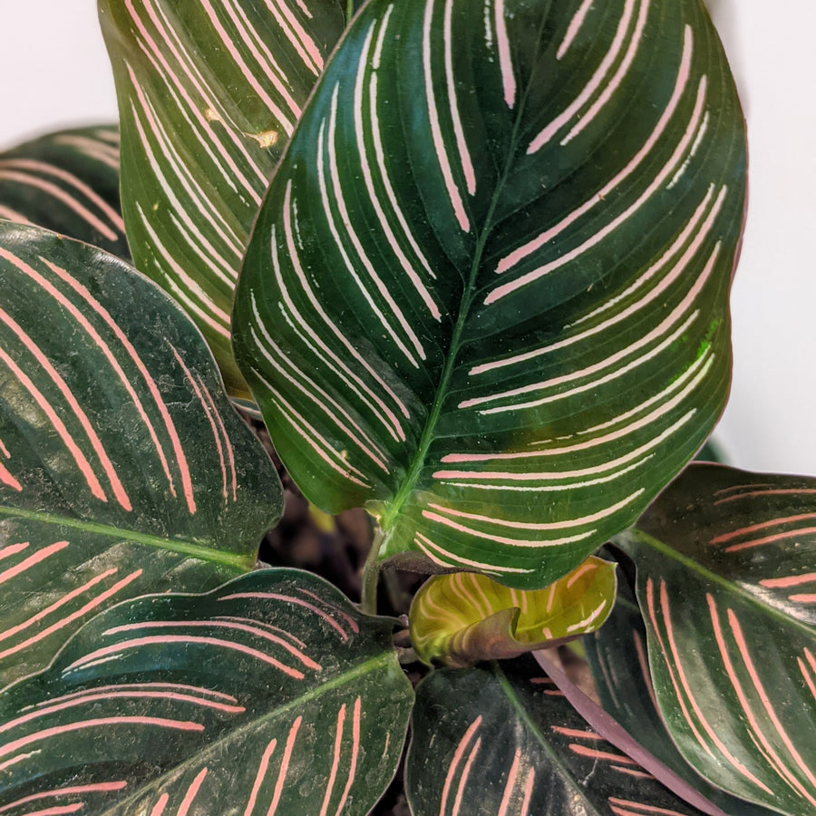 photo of calathea ornata