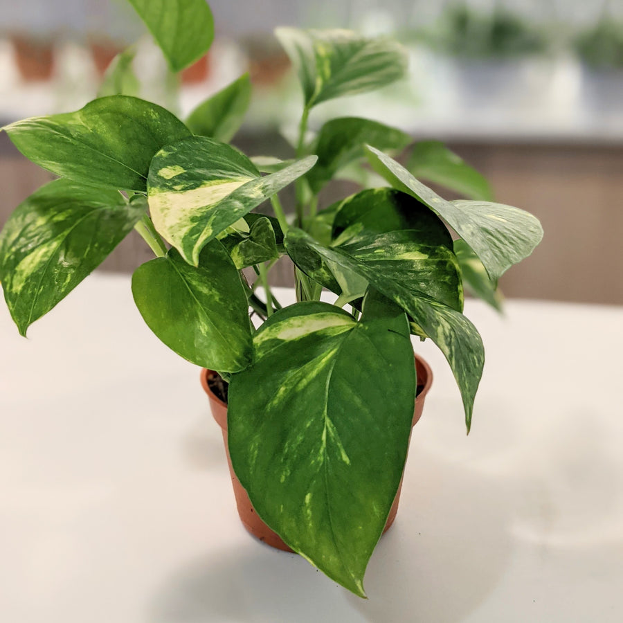 photo of pothos