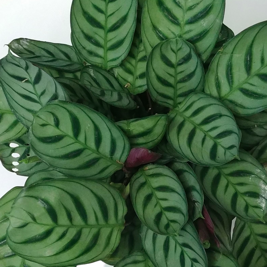 Fish Bone Prayer Plant- 6 inch pot