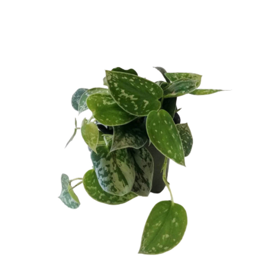 satin pothos available at Leaves House