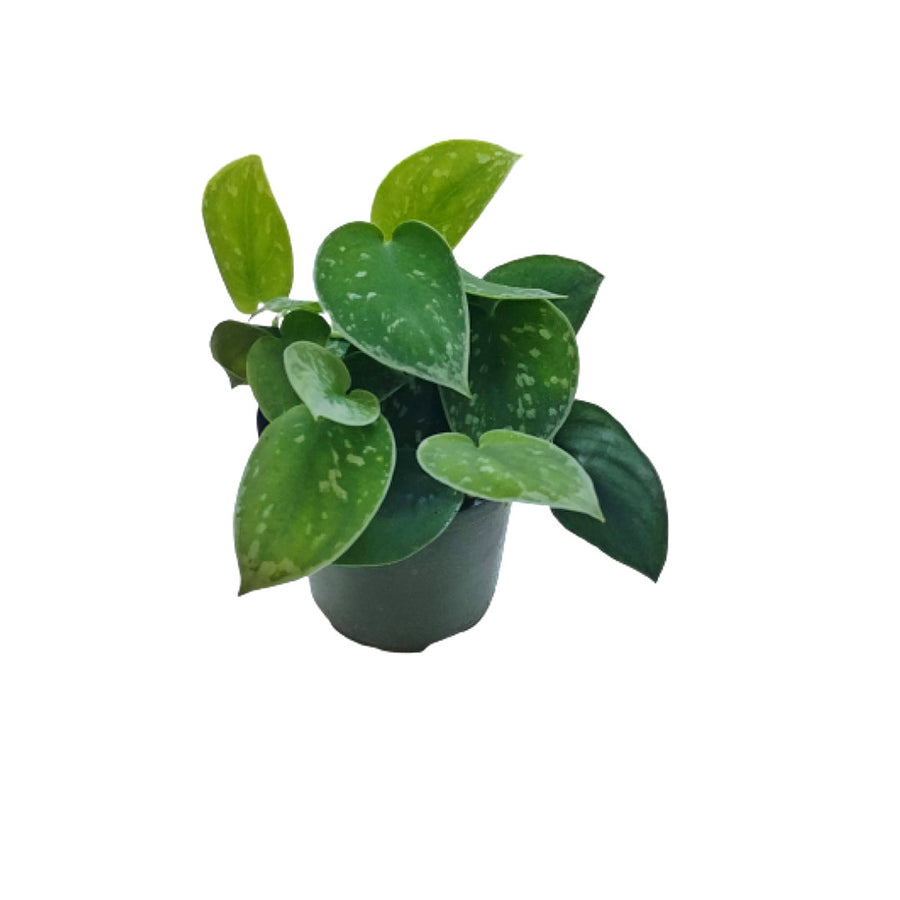 photo of satin pothos