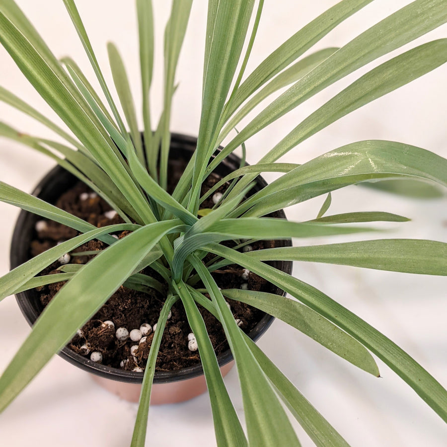 photo of spider plant