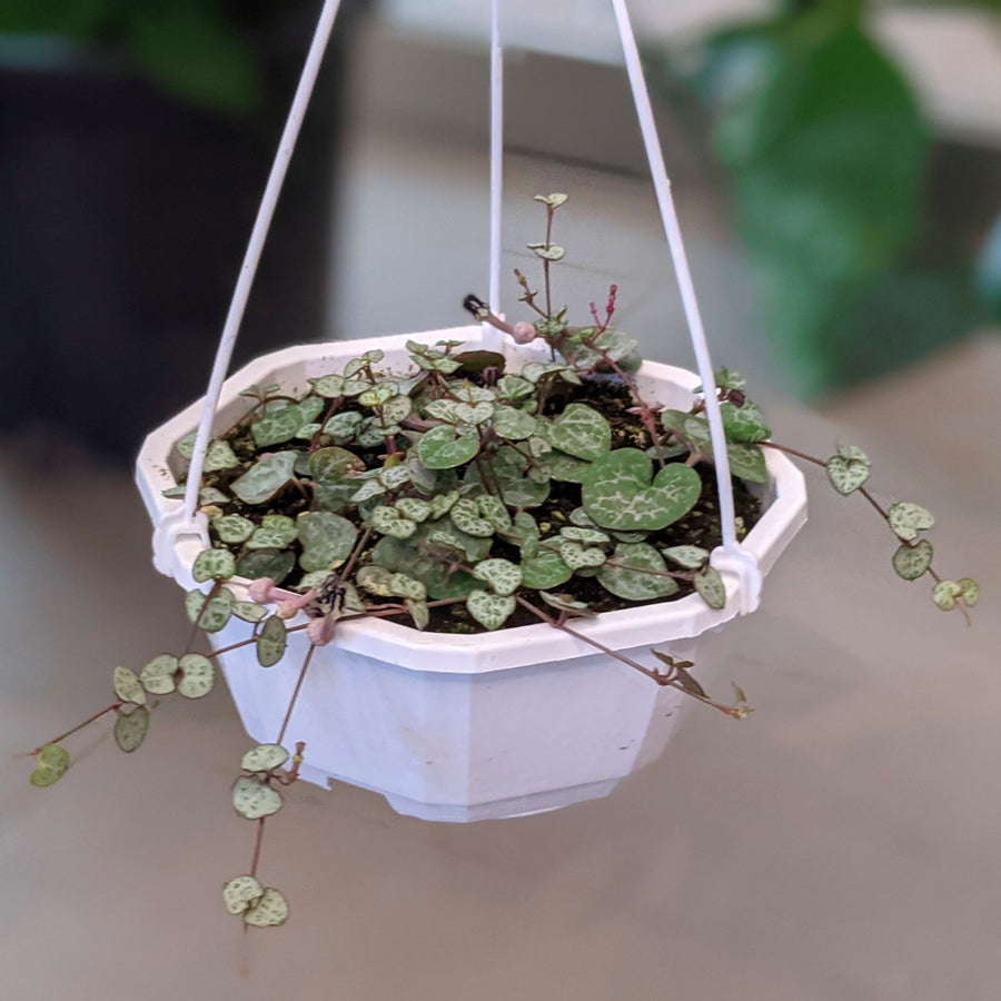 String of Hearts - 6 inch basket