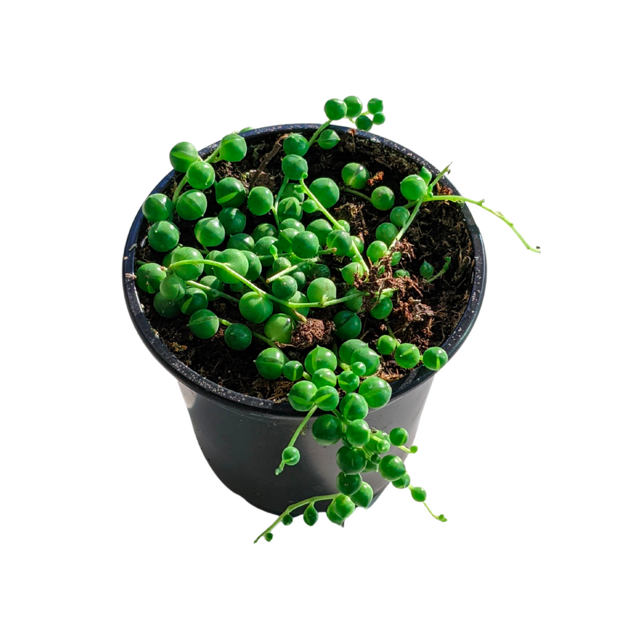 Photo of string of pearls plant
