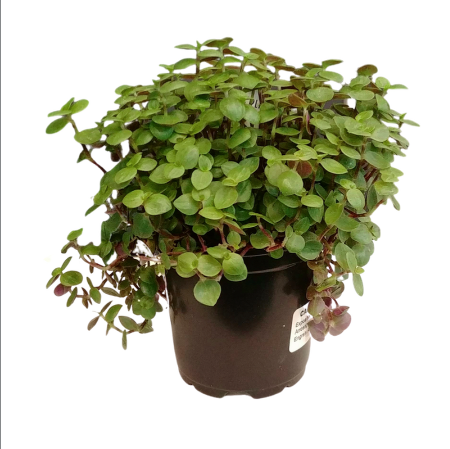 Callisia Repens Turtle - 4 inch pot