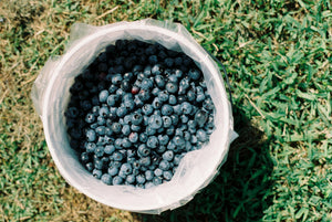Blueberry Picking Tradition | Stutzman Farms