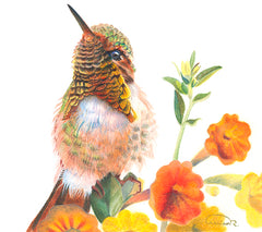 "Sicilian Hummingbird ""Blooming-dale"" - Watercolor Paper Print ( 8"" h x 8"" w )"