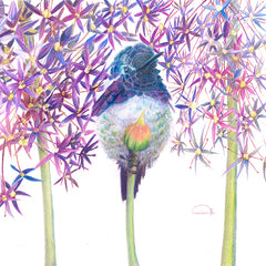 "Costa's Hummingbird ""Petal Pusher"" - Watercolor Paper Print ( 10.75"" h x 15"" w )"
