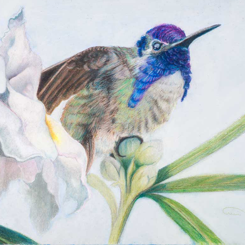 "Costa's Hummingbird ""Broken Amethyst"" - Original Color Pencil ( 8"" h x 17"" w )"