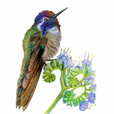 "Costa's Hummingbird ""Curly Fries"" - Watercolor Paper Print ( 14' w x 11' h )"
