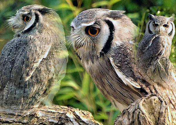 Superb Pro Satin A3 Photo Print, White Faced Owl, Photography by Ian Rabjohns