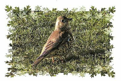 Pack of 6 Postcards, The Mistle Thrush, Photography by Ian Rabjohns GJ7