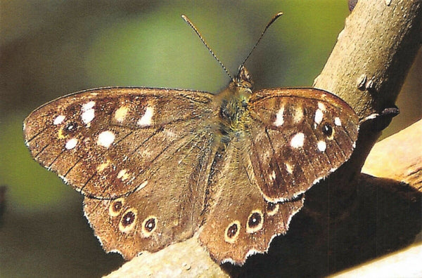 Fine Art Quality Postcard, Speckled Wood Butterfly Photo by Ian Rabjohns CK8