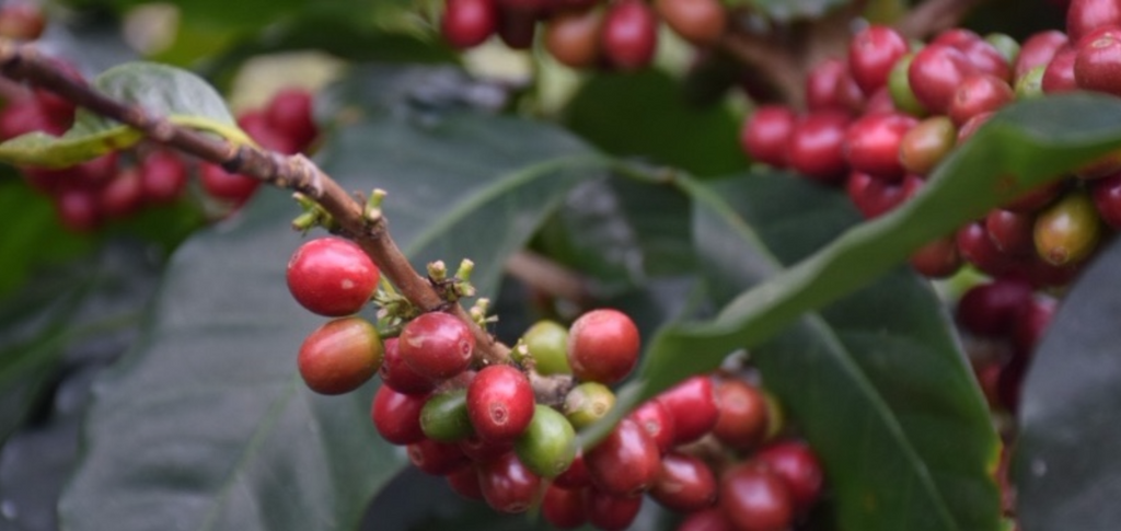 Coffee Cherry | Bean | Coffee Journey | Blog | Coffee | Coffee ...