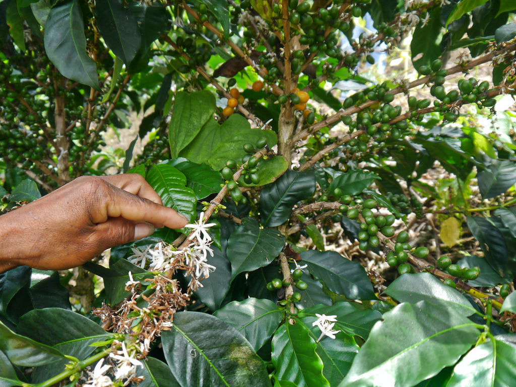 Cedro Alto – A new type of coffee collective in Colombia