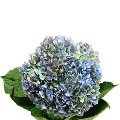 hydrangea blue antique green