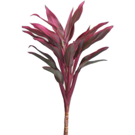 Cordyline Compacts - Red