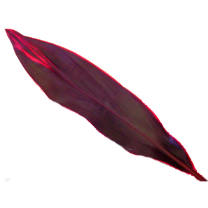 Cordyline Ti Leaf - Red Sister