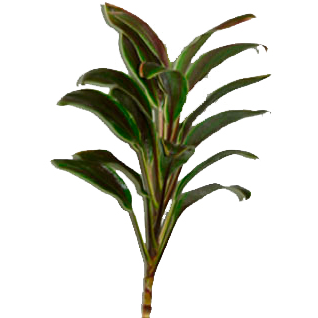 Cordyline Tips - Camerun