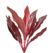 Cordyline Tips - Red Star
