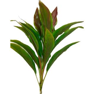 Cordyline Tips - Sherberth