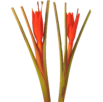 Heliconia Musa