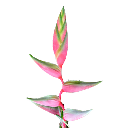 Heliconia Sexy Pink