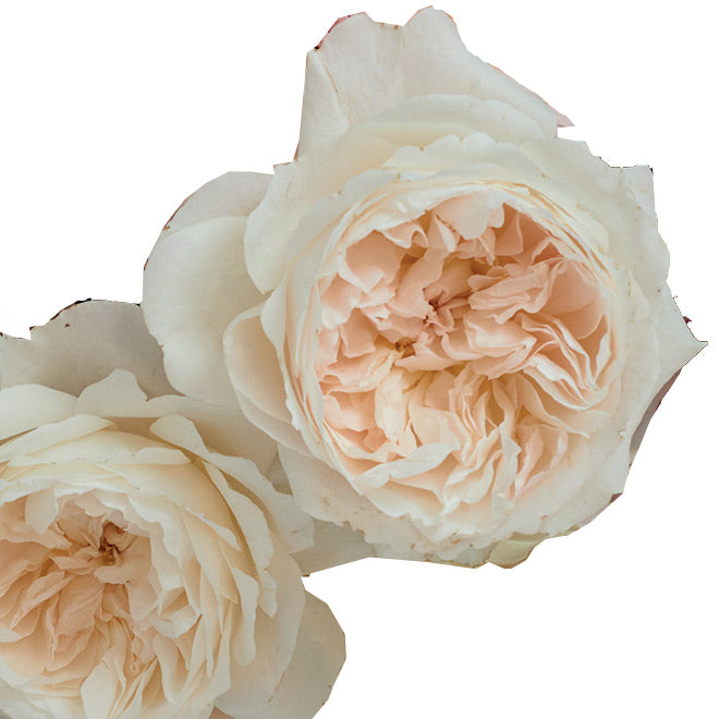purity garden rose