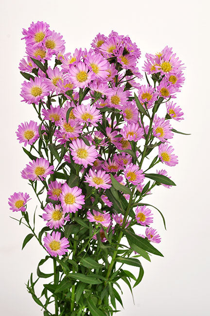 Pink Aster Solidago