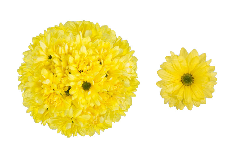 Atlantis Yellow -  Poms Daisy