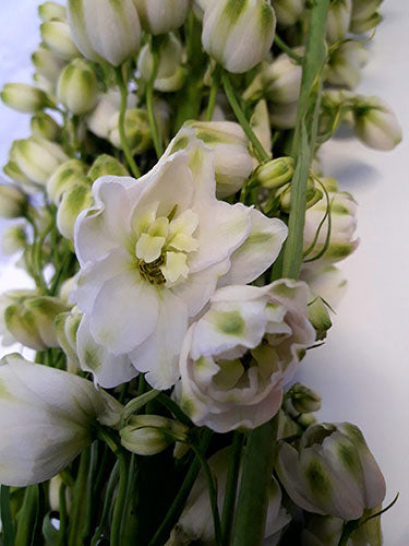 Delphinium Royal - White