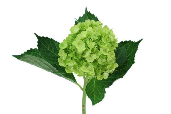 Hydrangea Dark Mini Green